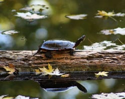 Turtle on a log floating in water